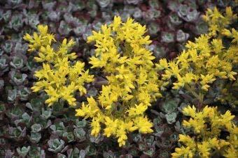 Vetkruid (Sedum spathulifolium 'Purpureum')