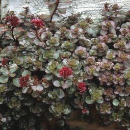 Vetkruid (Sedum spurium 'Fuldaglut')