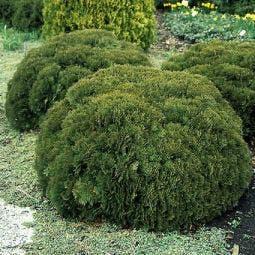 Thuja (Thuja occidentalis 'Danica')
