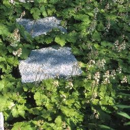 Perzische muts / Schuimbloem (Tiarella cordifolia)