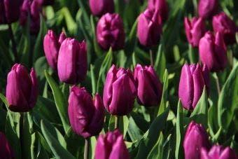 Tulp 'Purple Prince'