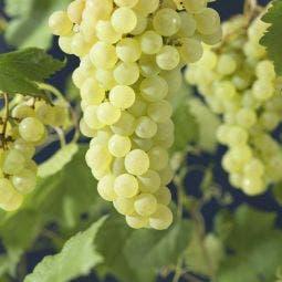 Witte Druif (Vitis 'Vroege van der Laan')