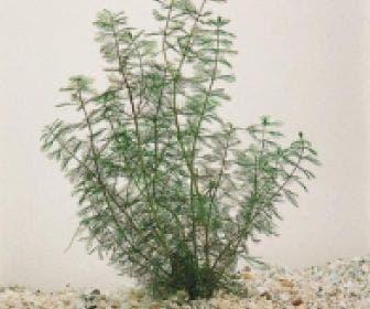 Aarvederkruid (Myriophyllum spicatum)