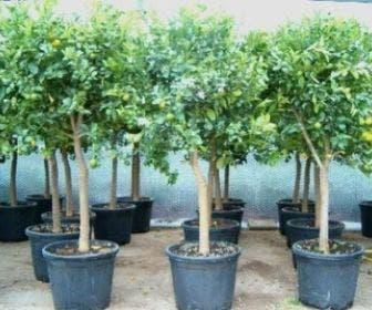 Calamondino (Citrus calamondino)