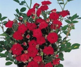 Bodembedekkende roos (Rosa 'Fairy Queen')