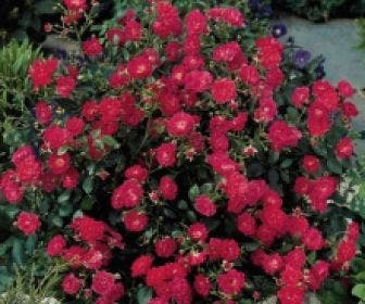 Bodembedekkende roos (Rosa 'Lovely Fairy')