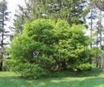 Geveerbladige Esdoorn (Acer cissifolium)