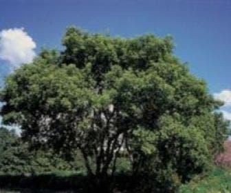 Vederesdoorn als boom (Acer negundo)