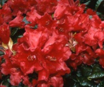 Dwergrhododendron (Rhododendron 'Baden-Baden')