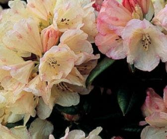 Dwergrhododendron  (Rhododendron 'Dusty Miller')