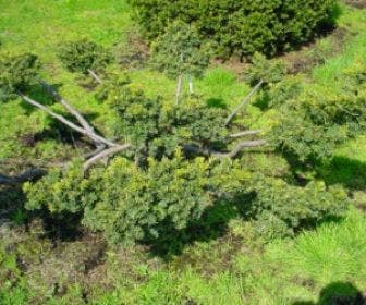Taxus als bonsai (Taxus baccata 'Summergold')