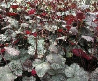 Purperklokje (Heuchera 'Cascade Dawn')