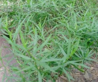 Dragon / Bijvoet (Artemisia dracunculus 'Senior')