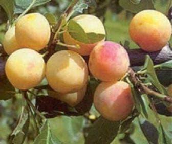 Pruimenboom (Prunus domestica 'Mirabelle de Nancy')