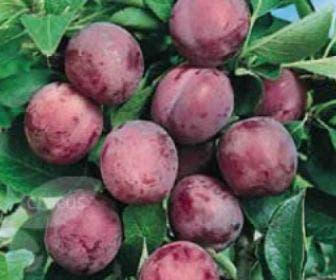 Pruimenboom (Prunus domestica 'Opal')