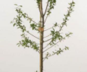 Pruimenboom (Prunus domestica 'Avalon')