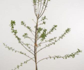 Pruimenboom (Prunus domestica 'Ontario')