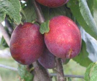 Pruimenboom (Prunus domestica 'Jubileum')