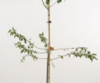 Pruimenboom (Prunus domestica 'Monsieur Hatif')
