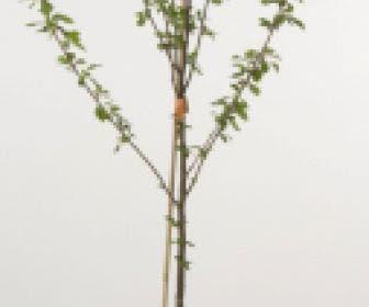 Mini-pruim (Prunus domestica(mini))