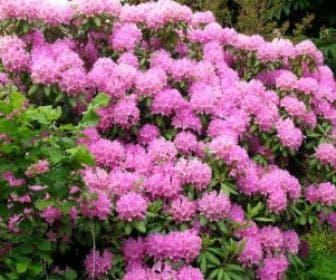 Azalea (Rhododendron 'Mollis' rose)