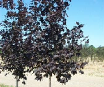 Noorse Esdoorn (Acer platanoides 'Royal Red')