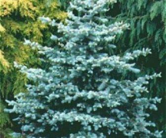 Blauwspar (Picea pungens 'Glauca')