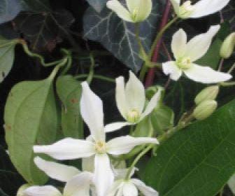 Bosrank, groenblijvend (Clematis armandii)