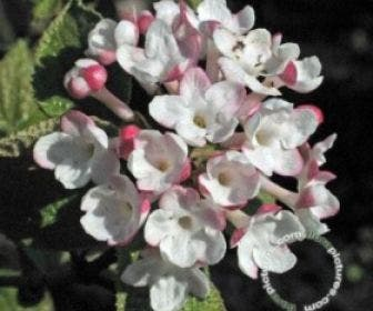 Sneeuwbal (Viburnum carlesii 'Aurora')