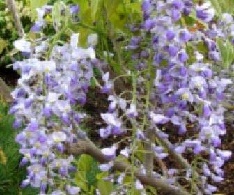 Japanse blauwe regen (Wisteria floribunda 'Issai-naga')