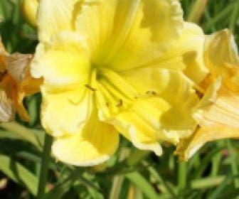 Daglelie (Hemerocallis 'Buttercup Parade')