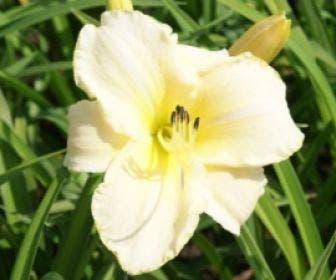 Daglelie (Hemerocallis 'Artic Snow')