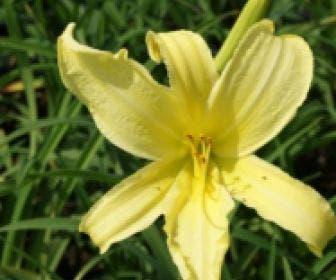 Daglelie (Hemerocallis 'Citrina')