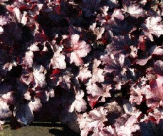 Purperklokje (Heuchera 'Plum Pudding')