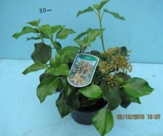 Klimop (Hedera colchica 'Arborescens')