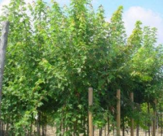 Esdoorn (Acer freemanii 'Autumn Blaze')