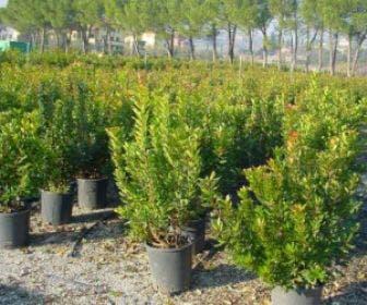 Aardbeiboom als struik (Arbutus unedo)