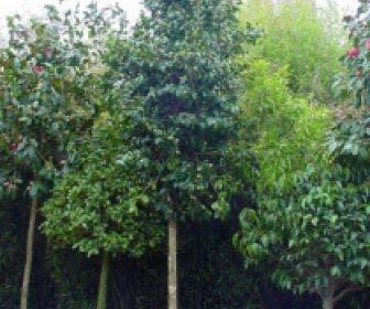 Camelia als boom (Camellia japonica)