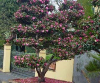 Camelia als bonsai (Camellia sasanqua)