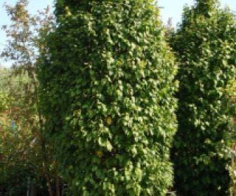 Haagbeuk (Carpinus betulus 'Monumentalis')