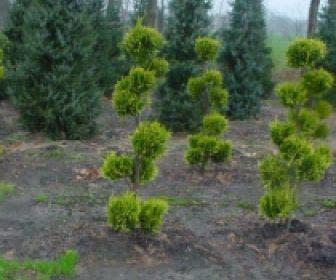 Schijncypres als bonsai (Chamaecyparis lawsoniana 'Ivonne')