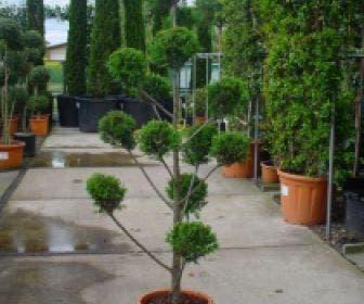 Cupressocyparis als  bonsai (Cupressocyparis leylandii 'Castlewellan Gold' )