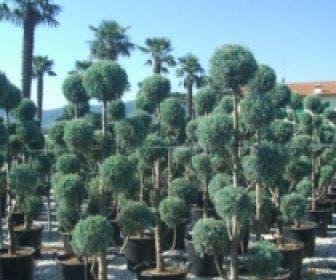Cipres als pompon (Cupressus arizonica 'Glauca')