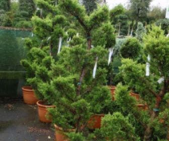 Cipres als bonsai (Cupressus macrocarpa 'Aurea')