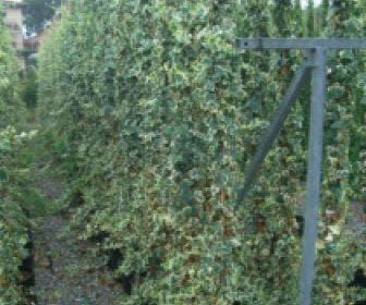 Bonte klimop (Hedera helix 'Marginata Elegantissima')