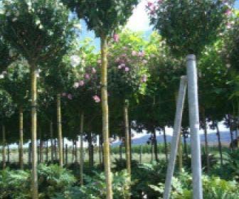 Altheastruik als boom (Hibiscus syriacus 'Oiseau Blue')