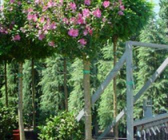 Altheastruik als boom (Hibiscus syriacus 'Woodbridge')