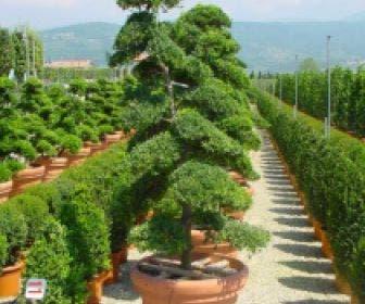 Japanse hulst als bonsai (Ilex crenata)
