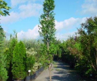 Zeepboom (Koelreuteria paniculata 'Fastigiata')