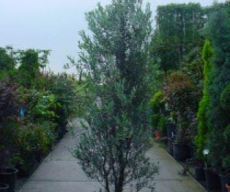 Olijf  als struik (Olea europaea)
